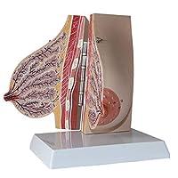 女性の授乳期乳房の解剖学モデル美容教育モデル学校の乳房教育モデル