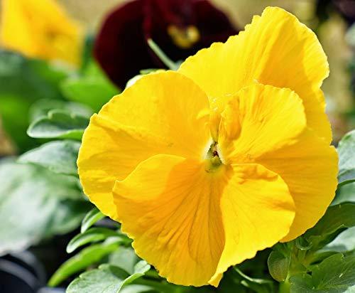 Pensée de jardin suisse - jaune