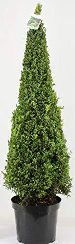Buchsbaum Kegel, Höhe: 130-140 cm, Pyramide, Buxus Formschnitt !