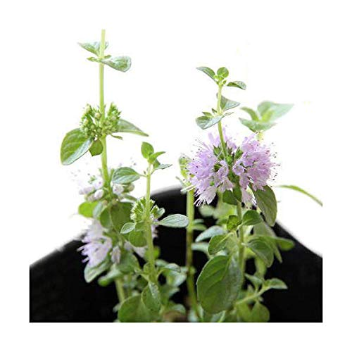 (観葉植物)ハーブ苗 ミント ペニーロイヤルミント 3号(1ポット) 虫除け植物 家庭菜園
