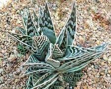 Seltene Aloe VARIEGATA Exotische Sukkulente Agave haworthia Heilpflanzensamen 10 Samen