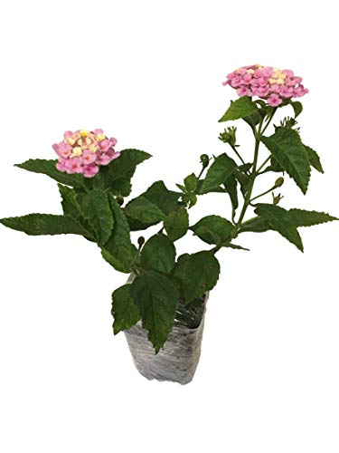 Lantana Camara Flowers - Two (2) Mixed Starter Live Plants - Not Seeds - Natural...