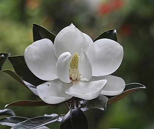 Vintergrön magnolia – vita blommor – Magnolia grandiflora Little Gem – total höjd 40 cm – kruka Ø 22 cm