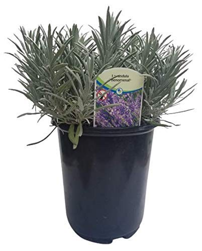 Findlavender Lavender Phenomenal Dark Purple Flowers (2.5QT Size Pot, Bee Friendly, Evergreen Plant , 1 Live Plant)