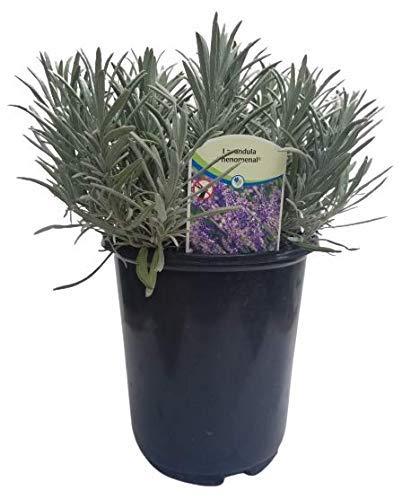 Findlavender Lavender Phenomenal Dark Purple Flowers (2.5QT Size Pot, Bee Friendly, Evergreen Plant...