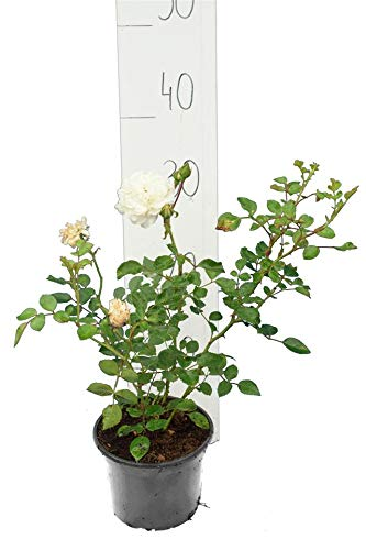 Strauchrose, Bodendeckerrose - Rosa Sea Foam - Gesamthöhe 30-40cm - 1 Liter Topf (1)