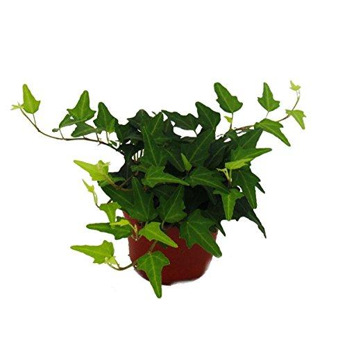 Exotenherz - Efeu - Hedera - 9cm Topf - Zimmerpflanze