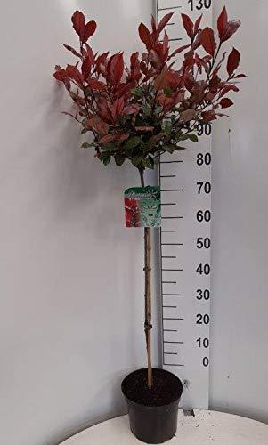 Glanzmispel Stämmchen, Photinia Little Red Robin, 130-140 cm