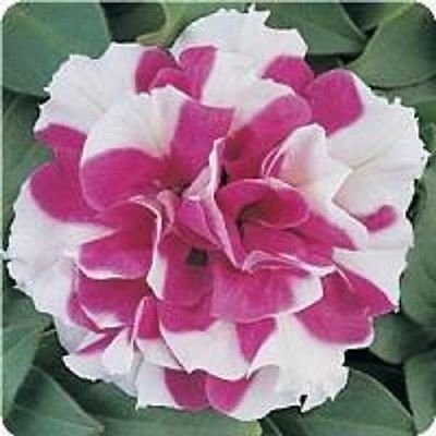 Pétunia Double Madness Rose et blanc 40 graines pastillées