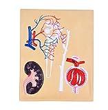 FHUILI Renale corpuscoli E Nefrone Modello anatomico - Modello educativo Nefrone, renale Corpuscolo Modello - Anatomia Modello Nefrone, renale Corpuscolo Modello per Lo Studio l'insegnamento,A