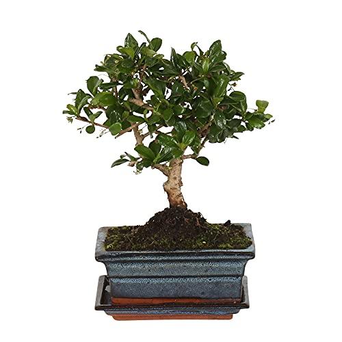 Carmona microphylla | Fukientee | Albero bonsai con vaso in ceramica | Altezza 25-30 cm | Vaso Ø 15x8cm