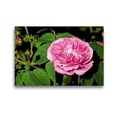CALVENDO Premium Textil-Leinwand 45 x 30 cm Quer-Format Rosa damascena Ispahan, Leinwanddruck Verlag