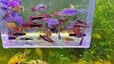 Assorted Platies - Pick Your Quantity - Live Fish - Livebearer - Variatus (25)