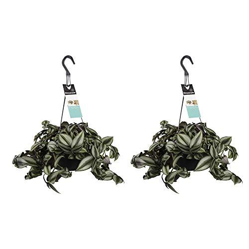 Zimmerpflanzen von Botanicly – 2 × Dreimasterblume – Höhe: 45 cm – Tradescantia zebrina