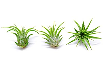 Miniature Fairy Garden Plants - Live Tillandsia Air Plants for Enchanted Gardens