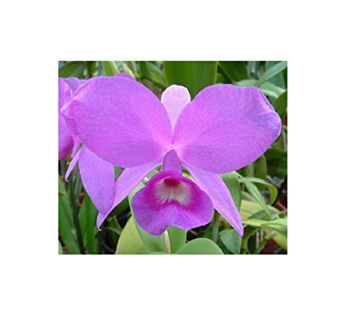 Stk - 1x Cattleya skinneri Feuer Multiflower lila Orchidee Pflanze OW38 - Seeds Plants Shop Samenbank Pfullingen Patrik Ipsa