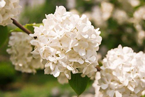 Portal Cool 20 semillas de flor blanca del Hydrangea durillo Flores del jardín S029