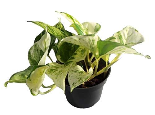 Efeutute, Scindapsus, (Epipremnum aureum) Sorte: Happy Leaf, geflecktes weiss-buntes Blattwerk, rankend, Ampelpflanze, luftreinigend (1)