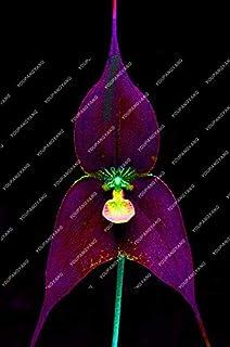 Shopvise orquídeas cara del mono de orquídeas raras semillas de flores interior jardín flores de las orquídeas Semillas 100 PC/bolsa: 2