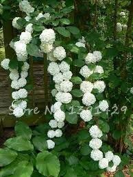 20 Climbing Hydrangea Seeds Bonsai Flowers Seed, Rare Tree Flowers Home Garden Decoration Flower Potted Planters For Sale