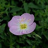 Rosa Nachtkerze Samen, 300Pcs Blumensamen Schöne Leicht Pflanze Schnell Keimung Dekorative...