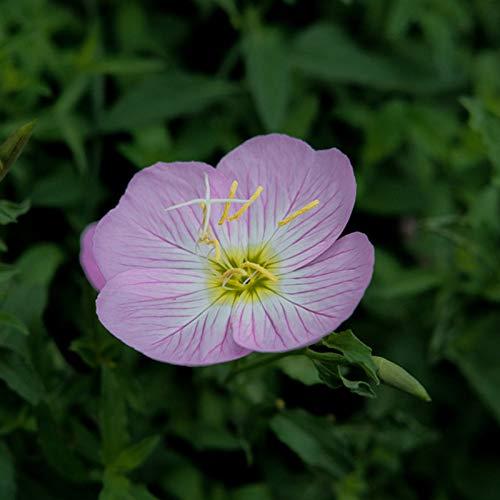 Rosa Nachtkerze Samen, 300Pcs Blumensamen Schöne Leicht Pflanze Schnell Keimung Dekorative Nachtkerzensamen für Ideal Outdoor-Garten Geschenk