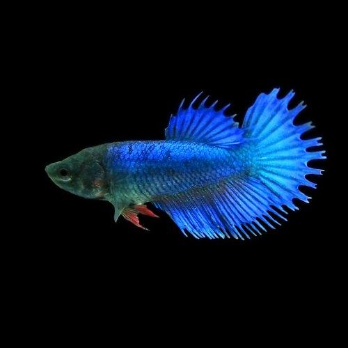 (熱帯魚)ベタ クラウンテール メス(色おまかせ)(約3cm)<1匹>[生体]