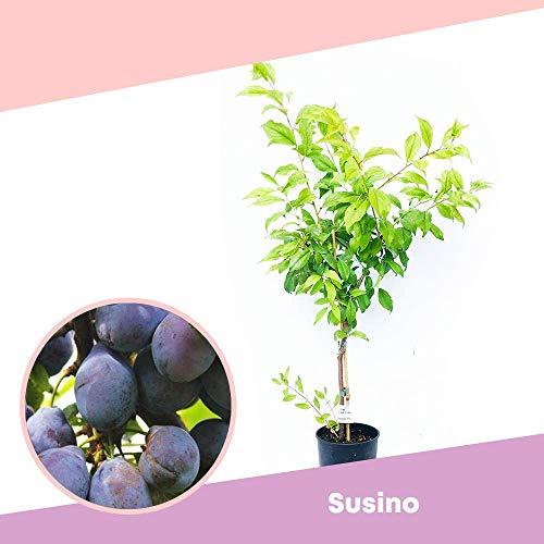 Susino ANGELENO - Albero da frutto per piccoli spazi - Azienda agricola Carmazzi