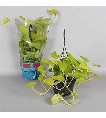 Epipremnum 'Golden Pothos' Ampel 50-60 cm - leuchtende Efeutute - Zimmerpflanze - Grünpflanze