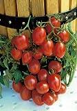 Salerno Seeds Grape Tomato Crovarese Pomodoro Heirloom Tomato 3 Grams Made in Italy Italian Non-GMO