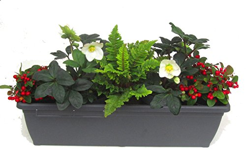 Edles, wintergrünes Balkonpflanzen-Set mit Christrosen 5 winterharte Stauden