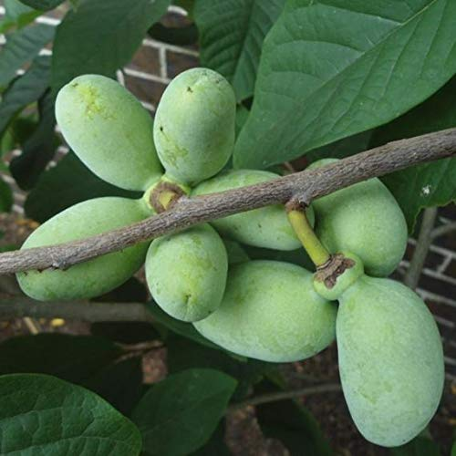 Paw paw Tree Seeds for Planting | 6 Seeds | Edible Fruit Tree, Made in USA. Ships from Iowa. Fun and Easy to Grow Your Own Food, Exotic Tree Seeds