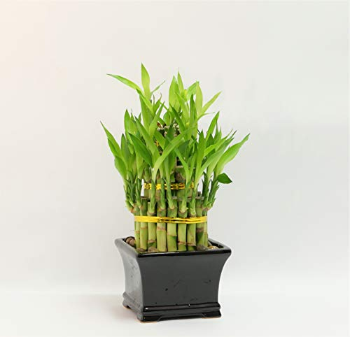 Athena's Garden BA-BT468-PRSM Classic Lucky Bamboo Tower in Black Ceramic Container, One Size, Green