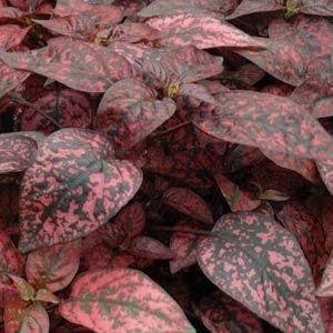 Jmbamboo - Fairy Garden Hypoestes Phyllostachya, Confetti, Red Polka Dot Plant