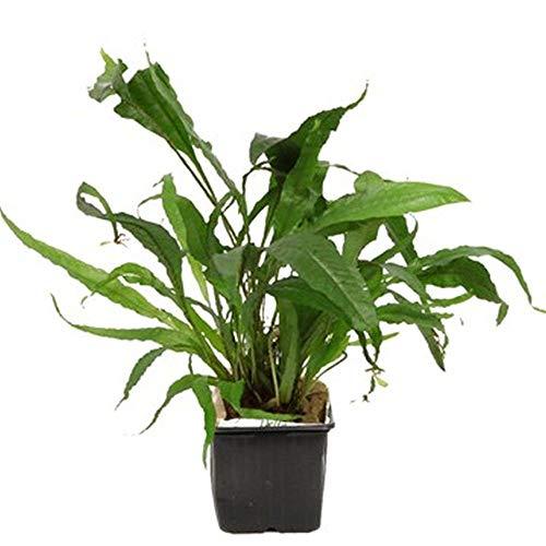 Tropica Mutterpflanze Aquarium Pflanze Microsorum pteropus Nr.008 XL Wasserpflanzen Aquarium Aquariumpflanzen