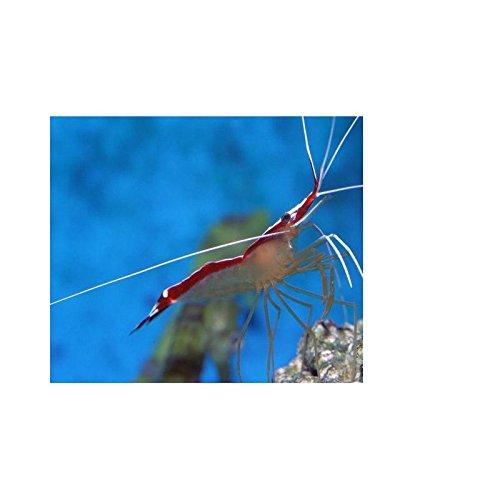 Lysmata amboinensis, 3 Stück 2-4 cm Putzergarnele für Meerwasseraquarium