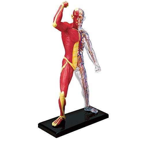 EXPLORA SCIENCES Explore Science Anatomie des menschlichen Skeletts und Muskeln, 546058, realistisches Modell, 46 Teile, 19 cm, Skelett + abnehmbare Elemente + Sockel, Entdeckungsset, ab 8 Jahren
