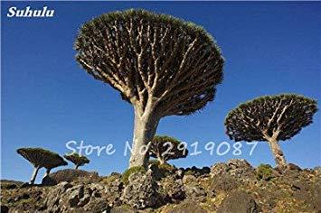 Livraison gratuite 10 Pcs rares Dracaena arbre alpiste Tree Island sang (Dracaena draco) Jardin des plantes voyantes, exotiques 12 Diy