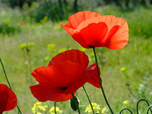 Papaver rhoeas Red Common Field Poppy Meadow Wild Flower Seed Seeds 100g Bulk Wholesale BN