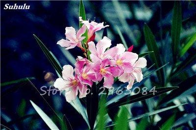 100 Pcs Nerium Oleander Flower Look Seed Tout comme les plantes Rose Fleur Bonsai jardin Arbre Quatre Saisons fleurs vivaces Easy Grow 7