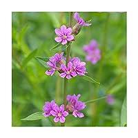 (ビオトープ)水辺植物 エゾミソハギ(1ポット) 湿性植物 (休眠株)