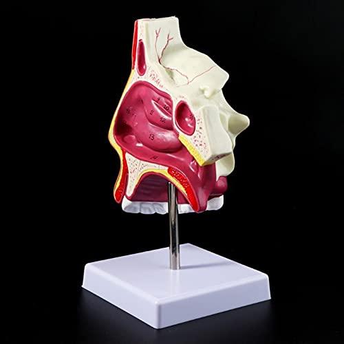 JAP768 1 PZ Umano Nasal Cavity Anatomy Model Medical Nose Cavity Structure per la Scienza Aula Studio Display Insegnamento