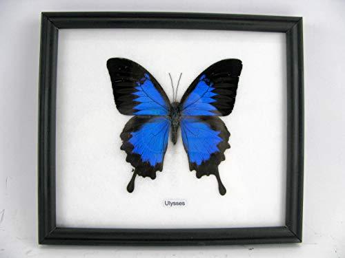 Blue Mountain Butterfly (Papilio Ulysses) aus Australien - echter riesiger und exotischer Schmetterling im Schaukasten, Bilderrahmen aus Holz - gerahmt - Taxidermy