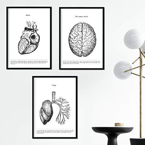PADRE-ANATOMY-SET-OF-3 (A3, Herz-Gehirn-Lunge)
