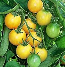 Tomato Golden Nugget 1,000 Seeds