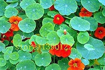 VISTARIC Taglilie Taglilie Samen Hemerocallis El Desperado Samen Hemerocallis Taglilie Blumensamen Bodendecker-Pflanzen-Samen