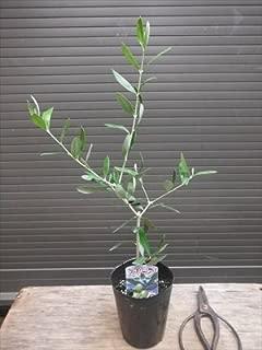オリーブ苗木 ルッカ 結実容易な品種 全長30~50CM前後