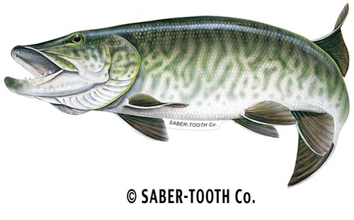 Buy Saber-Tooth Co Tiger Musky Fish Decal Sticker ~ Fishing & Wildlife Series