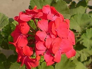 maverick red geranium