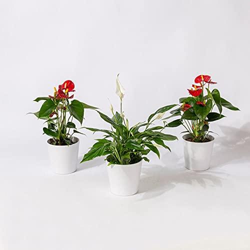 Pflanzen Kölle Blühendes Dreierlei...
